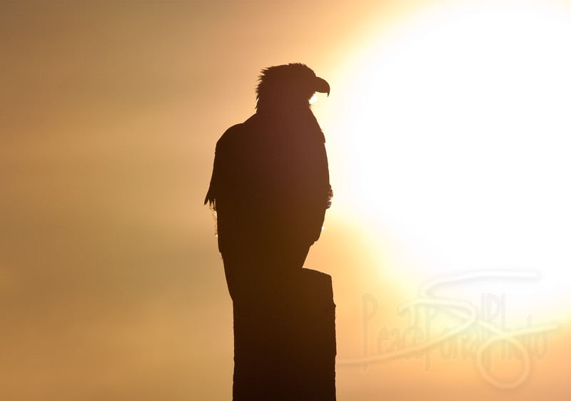 sunset eagle. blaine, wa.