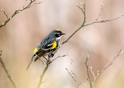 Warbler - Yellow-rumped
