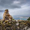 Barbary Macaques of Gibraltar