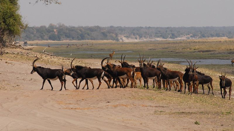 Sable Antilope, Hippotragus niger. Chobe, Botswana.