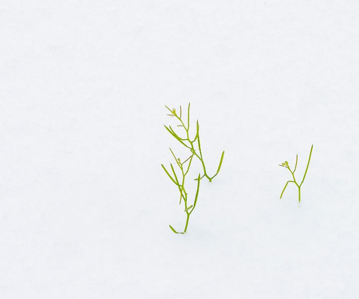 2021-02-15 Grass in Snow_DSC0960.jpg