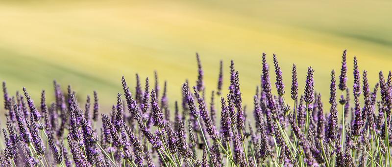 Lavender Against Barley