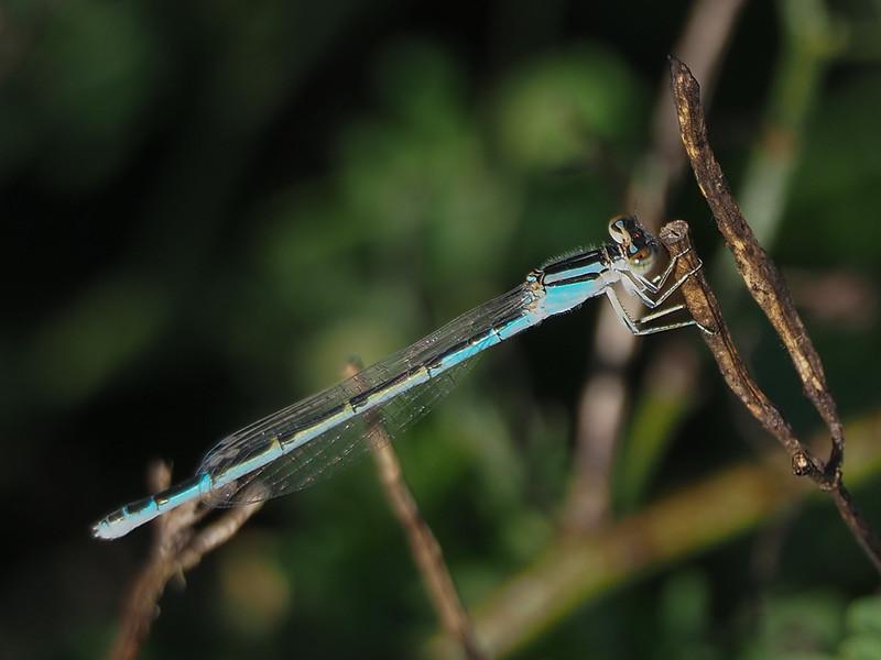 Big Bluet, female