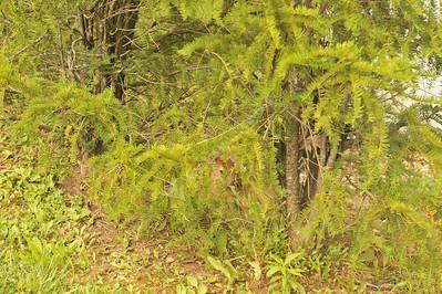 26917 baby deer - fawn