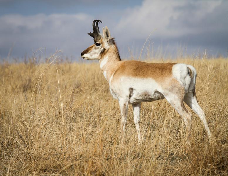 S_Young Antelope Buck_IMG_2114.jpg