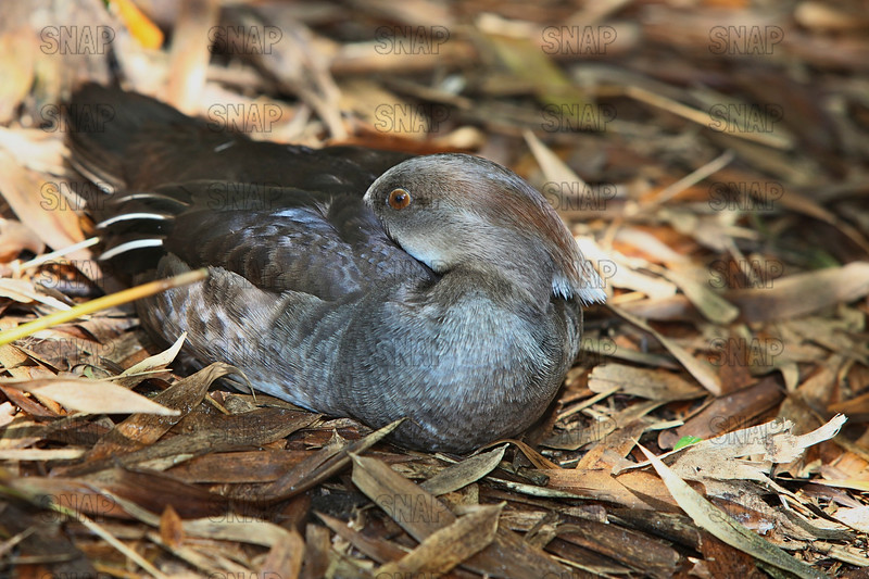 A female Hooded Merganser (Lophodytes cucullatus) at rests at the Jacksonville Zoo and Gardens.