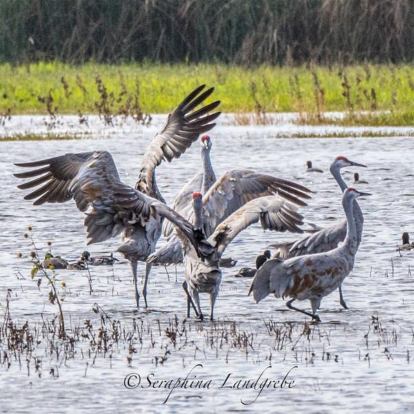 _DSC1379Five Sandhill Cranes .jpg