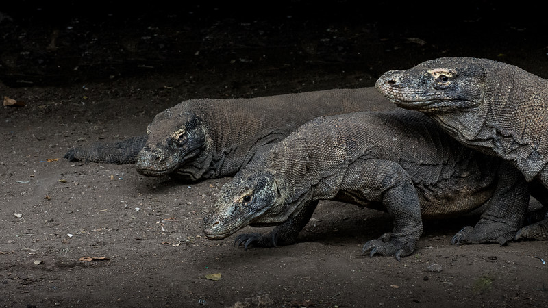 Komodo Dragons-2233.jpg