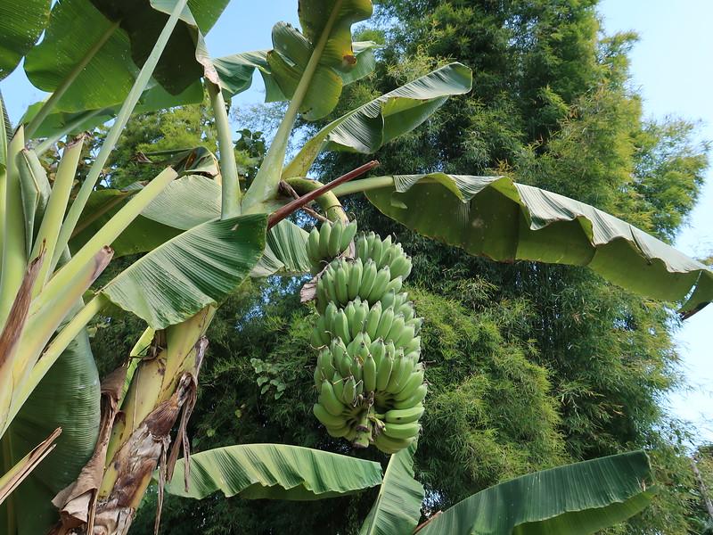 IMG_0553-banana-tree.JPG