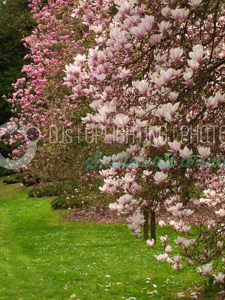 Magnolias_batch_batch.jpg
