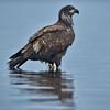 Bald Eagle - Great Bear Rainforest