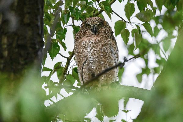 5-22-16 Great Horned Owl Family - Wet is Wet