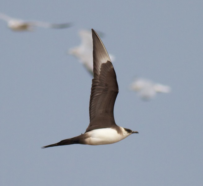 Parasitic Jaeger light adult summer Lake Superior Wisconsin Point Superior WI IMG_9314.jpg