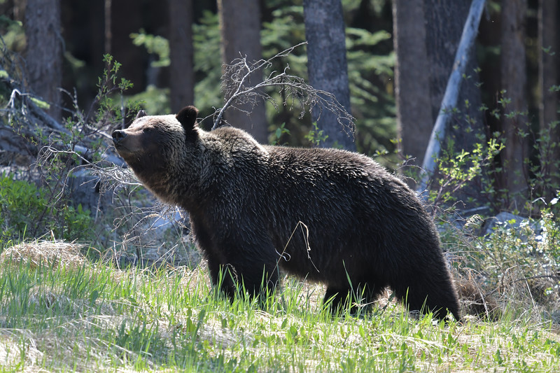 Mountain Grizzly on the great divide