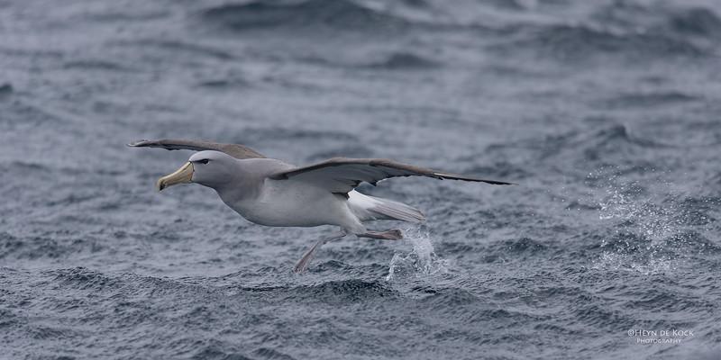 Salvin's Albatross, Eaglehawk Neck Pelagic, TAS, Sept 2016-5.jpg