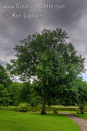 Quercus palustris (Pin Oak, Swamp Oak)