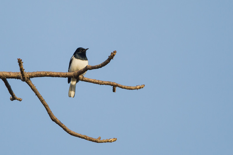 Oriental Magpie-Robin - Record - Ambazari backwaters, Nagpur, India