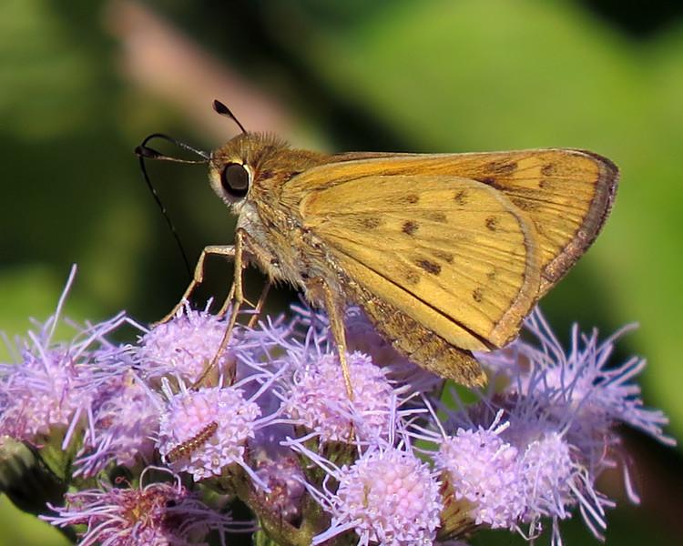 sx50_butterfly_skipper_flora_632_1.jpg