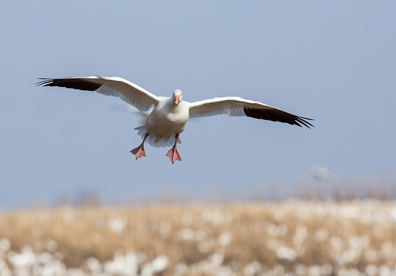 Snow Geese of Middle Creek WMA