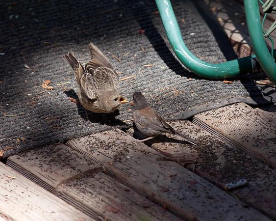 Brown-headed Cowbird Molothrus ater