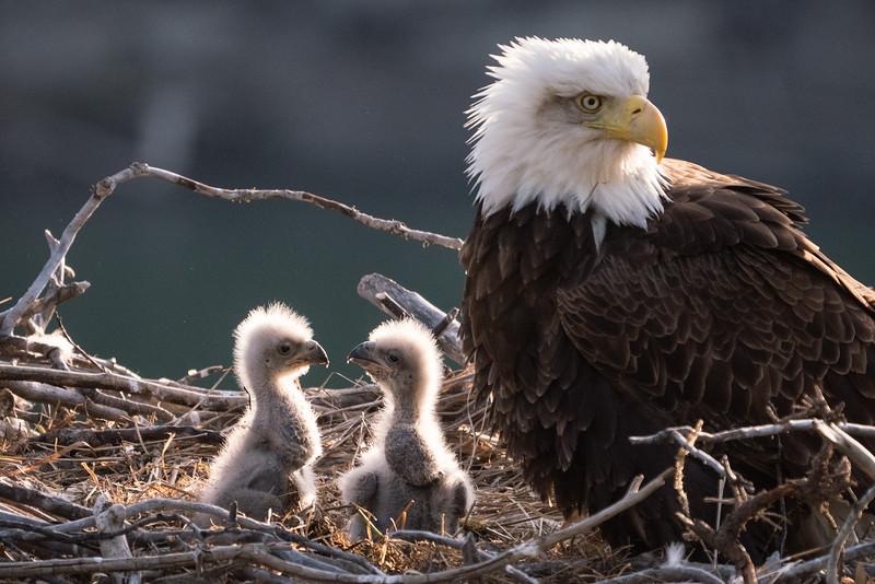 Eagle at nest along the Yukon River.