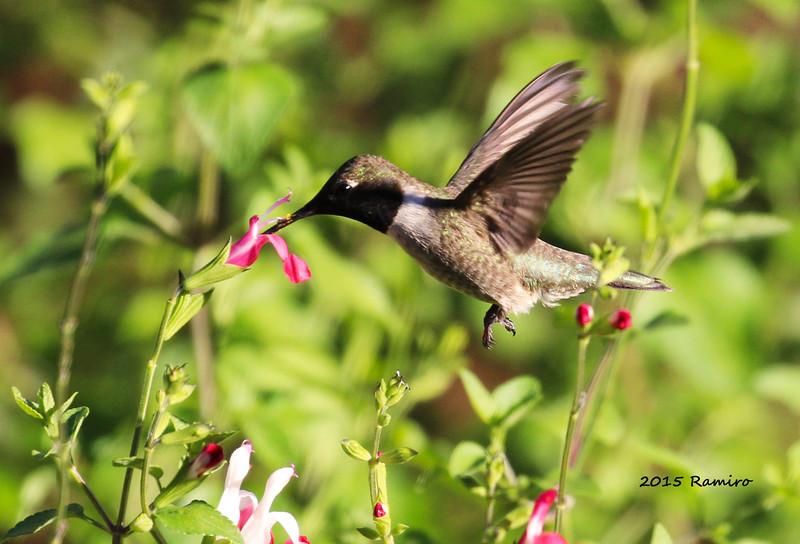Humming Bird 4-27-15 071.jpg