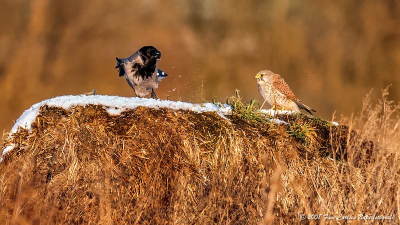 Tårnfalk (Falco tinnunculus - Common Kestrel) - Gråkrage (Corvus cornix - Hooded Crow)
