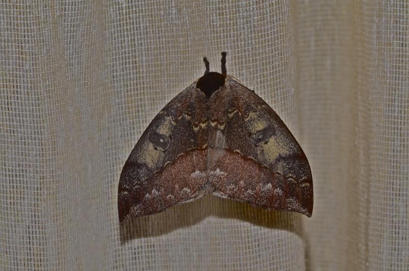 Peacock Moth (Automeris sp.)
