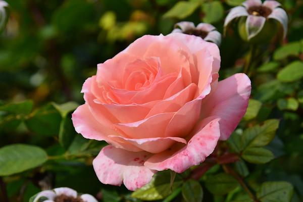 The Flowers of Huntington Gardens, Pasadena, CA (January 2019)