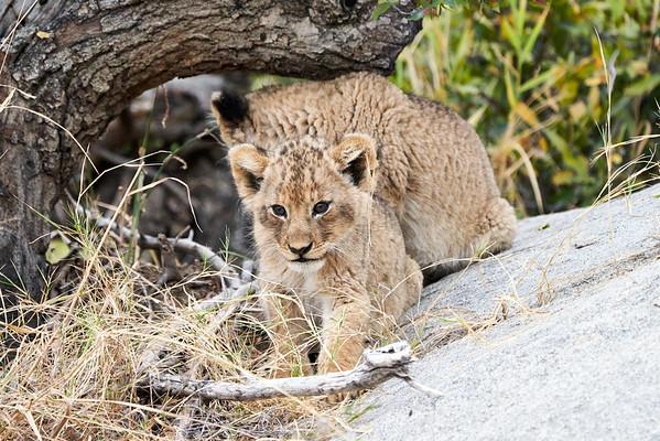 Lion Cubs Mala Mala South Africa 2019