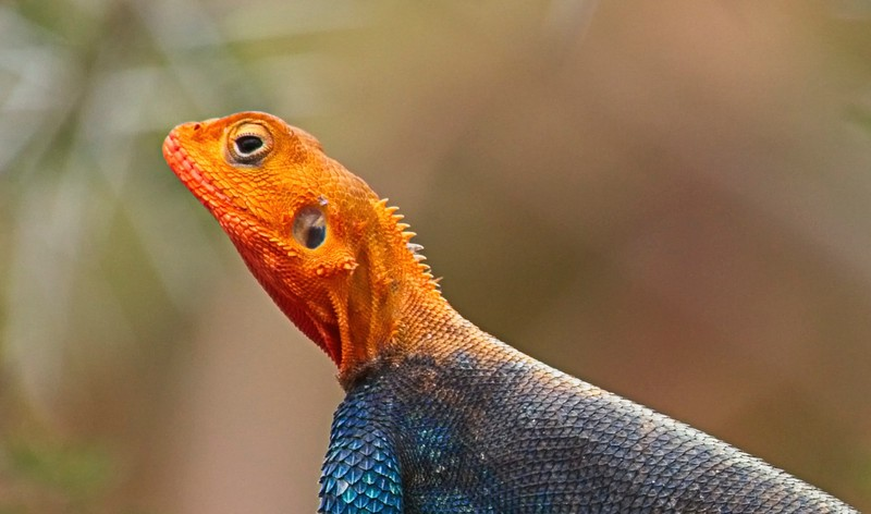 Red-headed Agama (male)