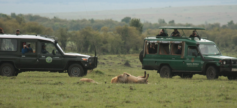 The lions were always extremely relaxed around the vehicles. It was as if we weren't even there!