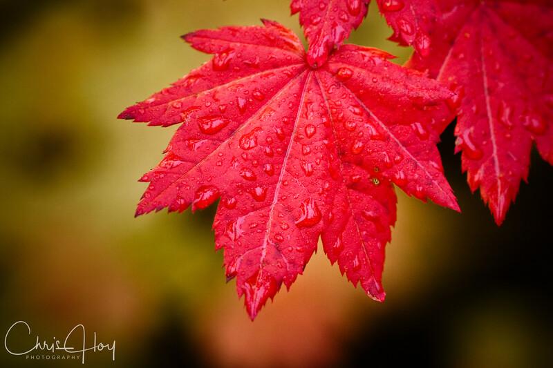 Fall Color, Mt. Hood, Oregon