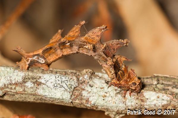 Gumtree Bizarre Lopper Moth