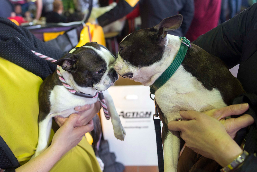 Description of . Boston terriers Gaga (L) and Spitzer sniff one another during the 137th Westminster Kennel Club Dog Show in New York, February 11, 2013. More than 2,700 prized dogs will be on display at the annual canine competition. Two new breeds, the Russell terrier and the Treeing Walker coonhound, will be introduced in the contest. REUTERS/Keith Bedford