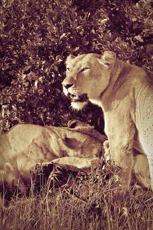 The Lion Stories