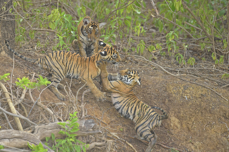 Tiger cubs in a forest