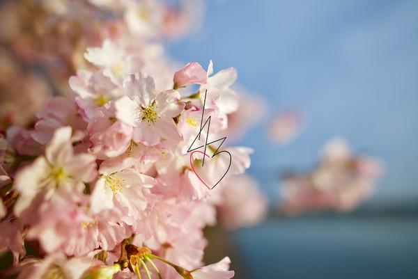 Cherry Blossom 2018