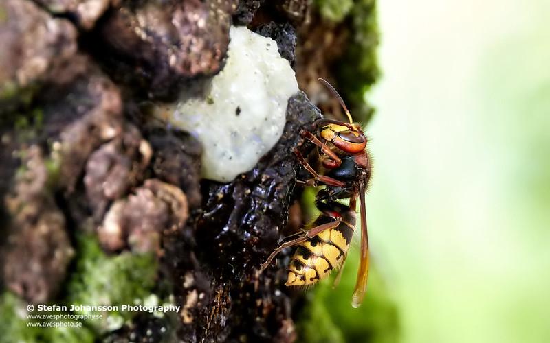 Bålgetingen (Vespa crabro)