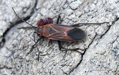 Rhopalidae (Scentless Plant Bugs)