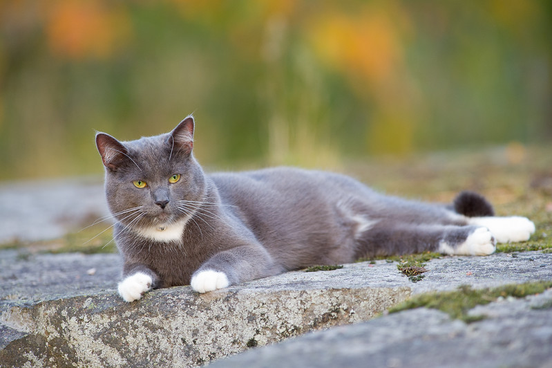 Cat , Katt , Molle