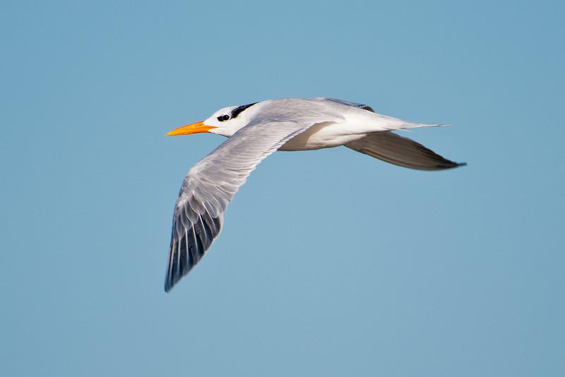 Tern - Royal - St. George Island State Park - FL - 02