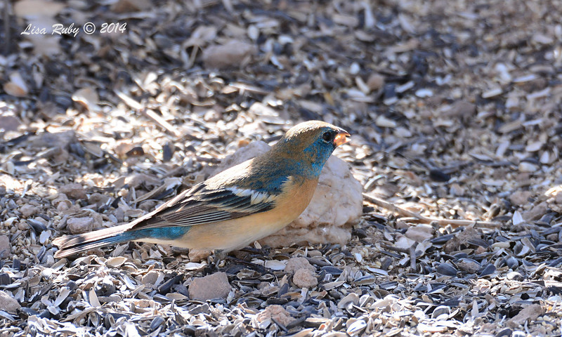 Lazuli Bunting - 4/20/2014 - Ash Canyon B&B, Hereford, Arizona
