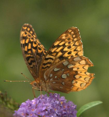 Butterflies, Moths and Bees