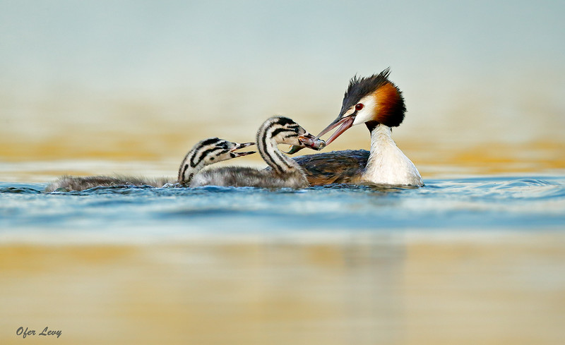 Great-crested Grebe 9.jpg