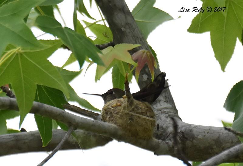 Hummingbird Nest - 5/6/2017 - Roselle St. Riparian Area