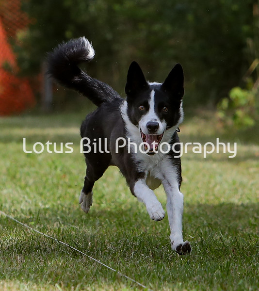 Border Collie SR2