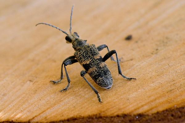 Trebukker (Cerambycidae)