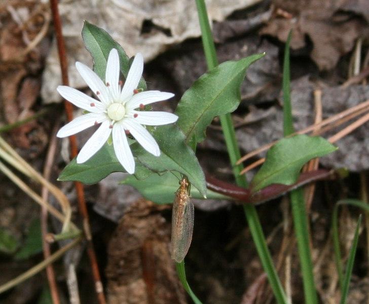 Stellaria pubera with mayfly.jpg