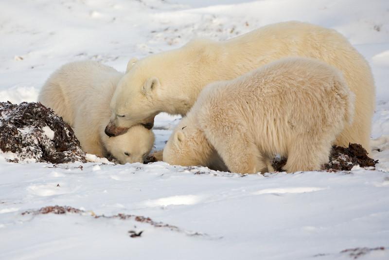 polar bear  5935.jpg